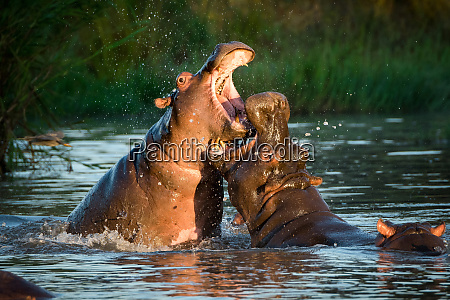 two hippopotamus hippopotamus amphibius fight in