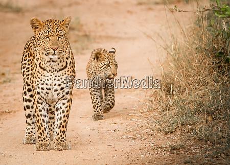 a mother leopard panthera pardus stands