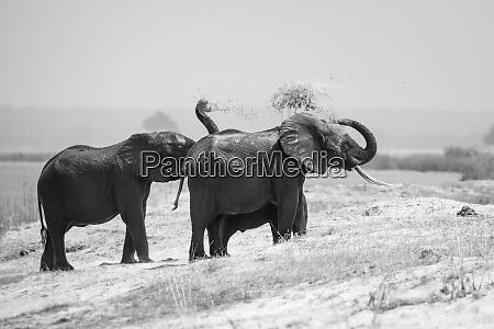 eine elefantenherde loxodonta africana stehen am