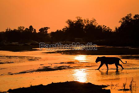 eine silhouette einer loewin panthera leo