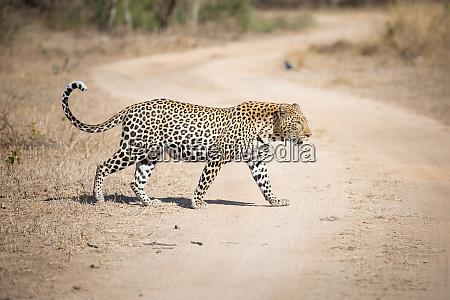 ein, leopard, panthera, pardus, geht, über, eine, schotterstraße, blick - 26303936