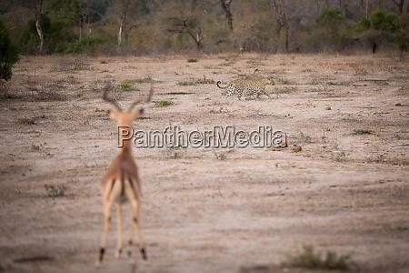 ein leopard panthera pardus laeuft ueber