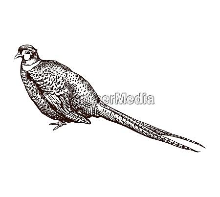 antike gravierende fasanerillustration abstrakte handgezogene vogel