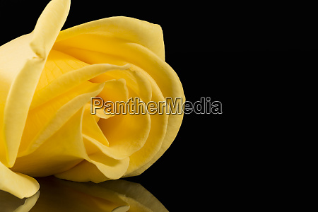 single yellow rose isolated on black