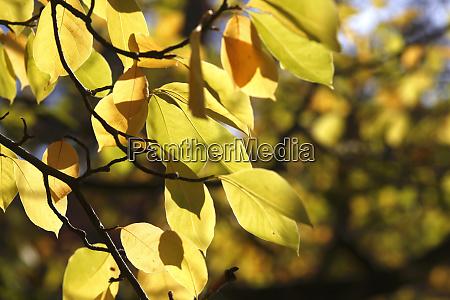 saucer magnolia blaeser im herbst