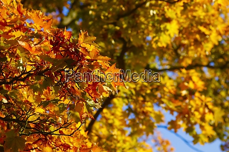 germany maple leaves in autumn