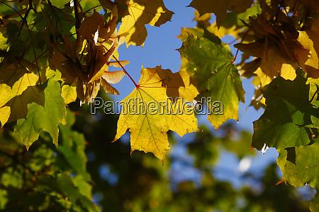 germany marple leaves in autumn