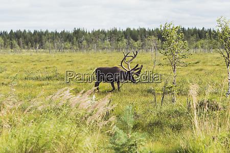finland lapland elk walking in rural