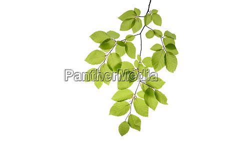branch of beech tree fagus sylvatica