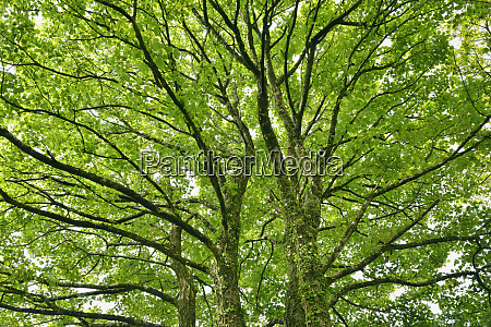 tree branches of maple tree