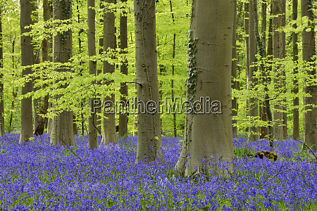 belgium flemish brabant halle hallerbos bluebell