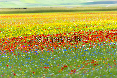 italy umbria sibillini national park blooming
