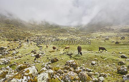 bolivia la paz llamas at inca