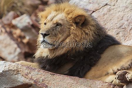 suedafrika aquila private game reserve lion