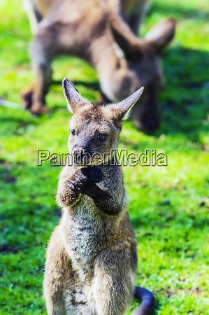 australia young kangaroo mother animal in