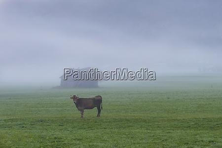 germany bavaria allgaeu cattle on an
