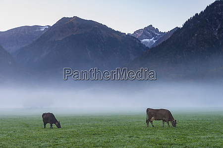 germany bavaria allgaeu cattles on an