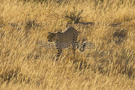 south africa kalahari transfrontier park cheetah