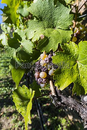 austria wachau close up of grape