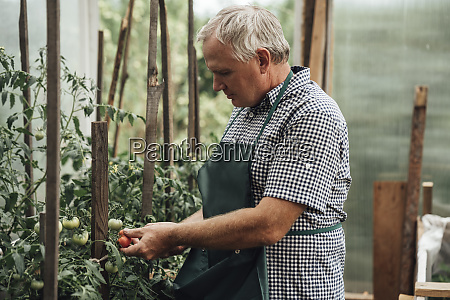 gardener in greenhouse holding tomatoes