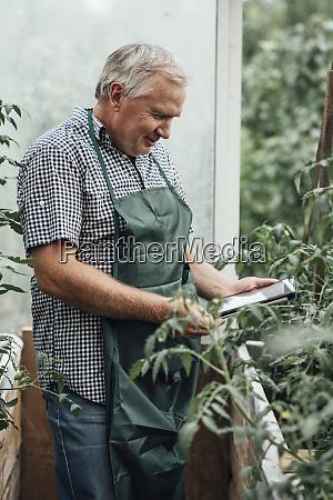 mature man gardener in greenhouse using