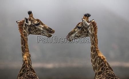 suedafrika aquila private game reserve giraffen