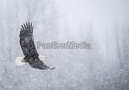 nautre photograph of single bald eaglehaliaeetusleucocephalusflying