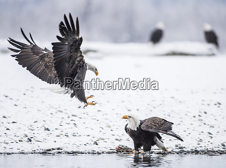 two bald eagleshaliaeetusleucocephalusfighting in winter