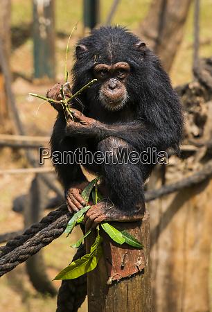 schimpansenwaisen im tacugama schimpansen heiligtum sierra