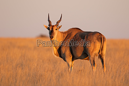 eland antelope in late afternoon light