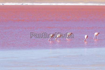 laguna colorada flamingos bolivien