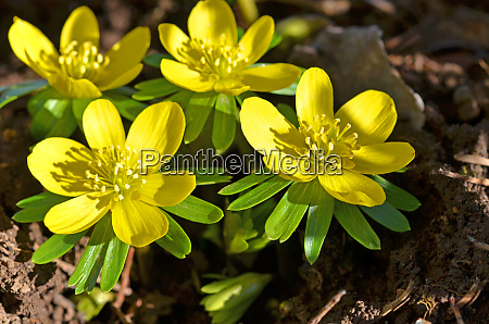 eranthis hyemalis winter flowers yellow