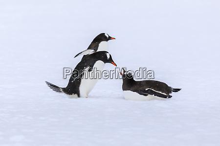 gentoo pinguine pygoscelis papua treffen sich