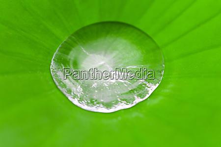wasser in der mitte von lotusblaettern
