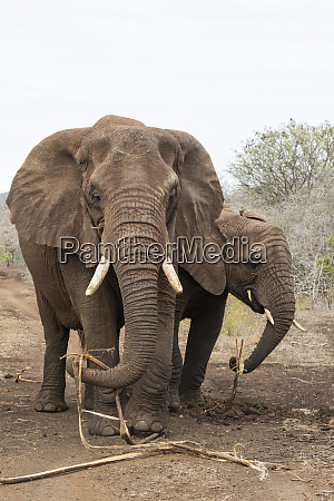 afrikanische elefanten loxodonta africana die sich
