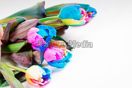 bunch of unusual multi colored tulips