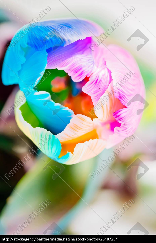 nahaufnahme, der, bunten, tulpe - 26487254