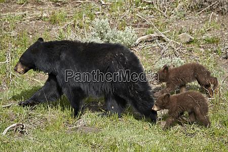 black bear ursus americanus sow and