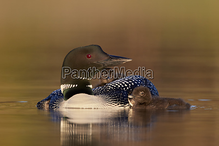 common loon gavia immer adult with