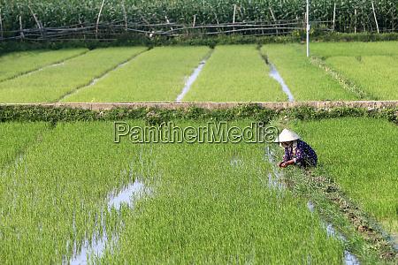 vietnamese farmer working in her rice
