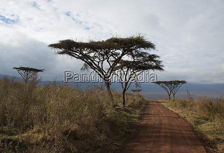 flat top acacia trees vachellia abyssinica