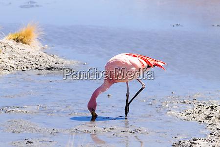 boliva vogel flamingos tierwelt natur
