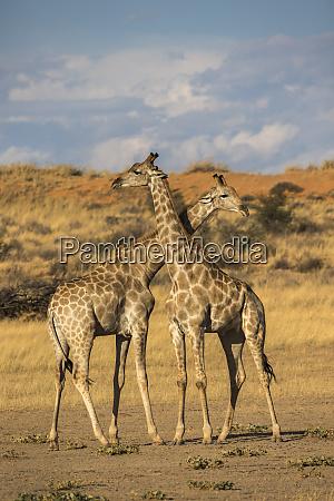 giraffen giraffa camelopardalis kgalagadi transfrontier park
