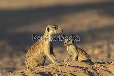 meerkats suricata suricatta kgalagadi transfrontier park