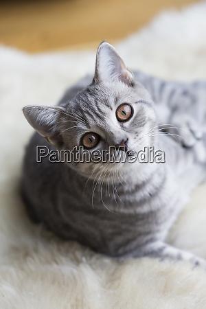 portrait of tabby british shorthair kitten