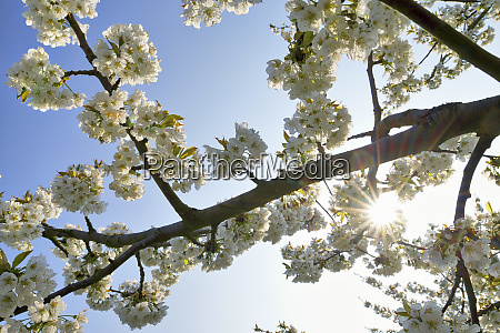 white cherry blossoms at backlight