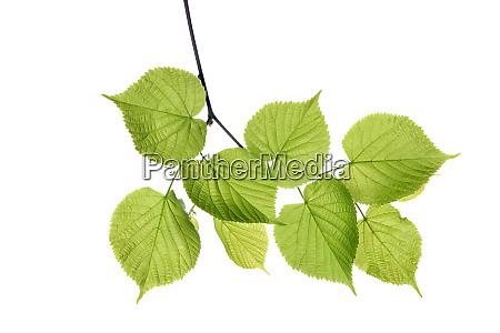lime tree tilia spec leaves against