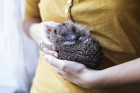 womans hands holding rolled up hedgehog