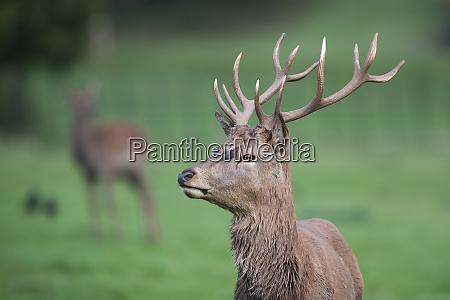 england red deer cervus elaphus