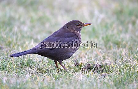 blackbird weiblich
